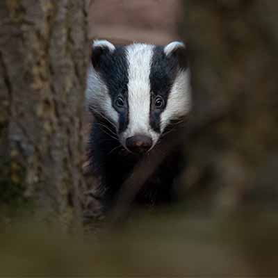 A badger peeping out between trees