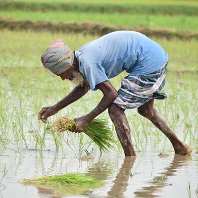 Farmer in rice field harvesting green shoots