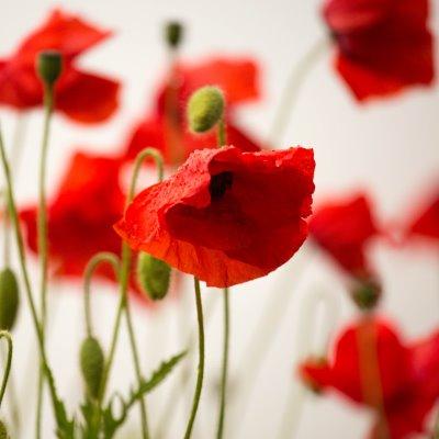 Poppy - Diana Parkhouse